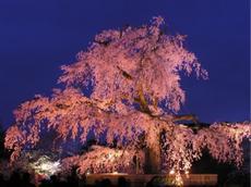 【申込フォーム締切3月25日!】みんなで花見!in京都・円山公園【3月28日 & 4月5日】
